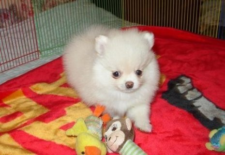 صور Pomeranian Puppies All Ready For Xmas  1