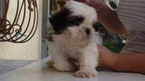 صور Cute Shih Tzu Puppies Available Now For Xmas 1