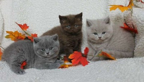British shorthair Kitten\'s