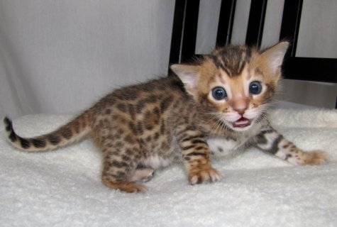 صور  two beautiful Bengal kittens available 1