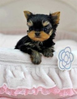 Yorkie Puppies for Available For Sale Now1