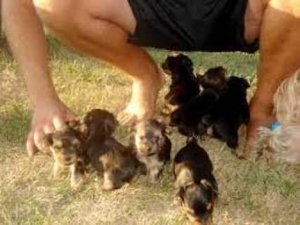 صور Charming AKC T-Cup Yorkie puppies  1