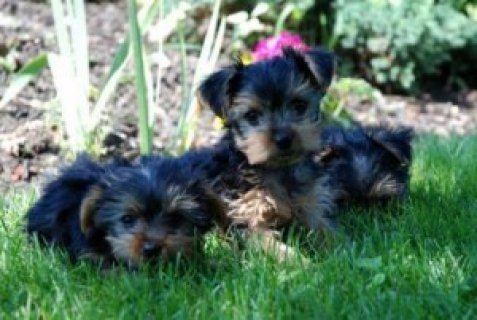 Cute Teacup Yorkie Puppies For Free Adoption