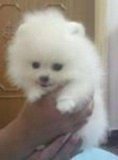 Pomeranian Puppies For Xmas