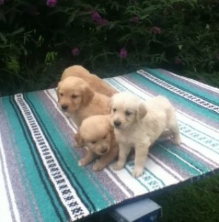 Attractive Golden Retriever Puppies for rehoming