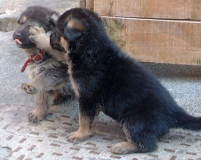 German Shepard Puppies Available for Free Adoption