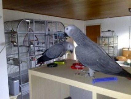 Red Congo African Grey Parrot 11