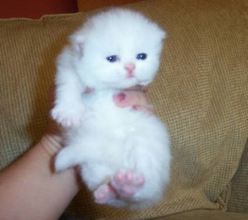 Cute White Persian female kitten for adoption11