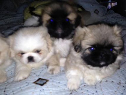 Pekingese puppies Ready Now For New Homes11