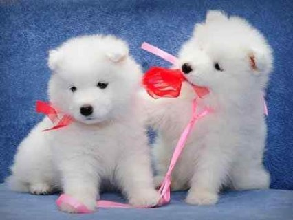 Samoyed puppies for good homes