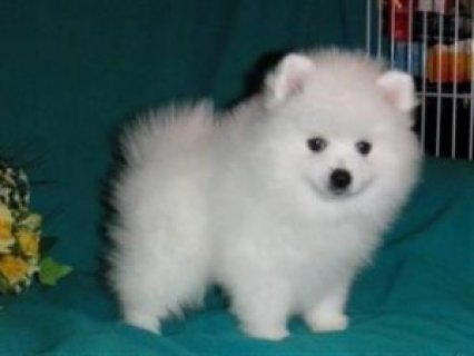صور Gorgeous Male and Female Teacup Pomeranian Puppies. 1