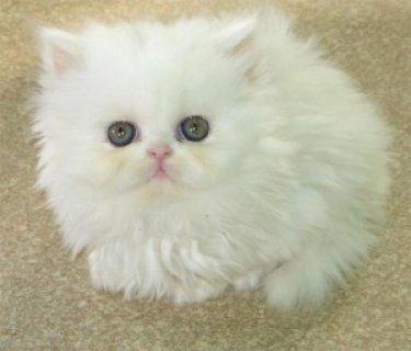 القطط الفارسية المتوفرة