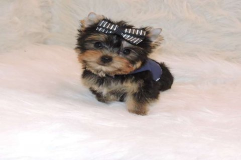 Charming and Cute Yorkie Now Available for sale111