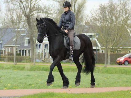 black male and female Well trained Horse for sale , Frisian hors