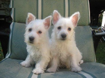 West Highland White Terrier for adoption11122