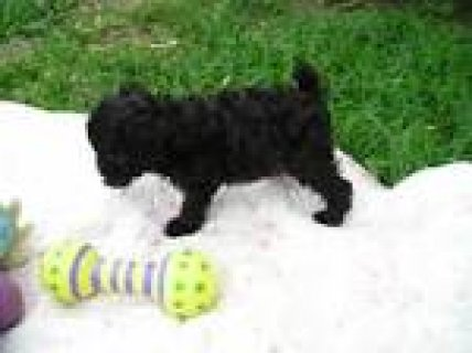 Toy Poodle puppies for sale2211