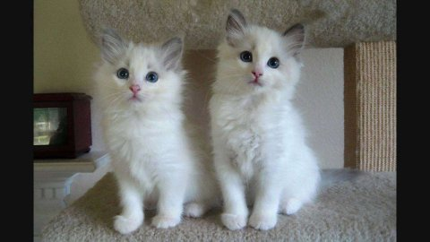 Ragdol Kittens for Nice Family 33222