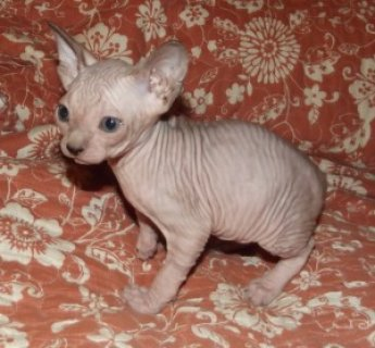 صور Registered Sphynx Kittens Available For Sale22111 1