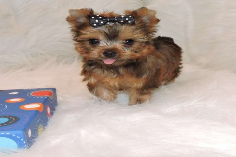 Golden Teacup Yorkie Puppies Available For New Homes3333