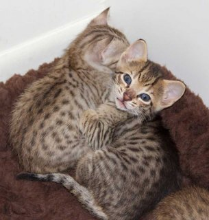 savannah male and female kittens for sale332