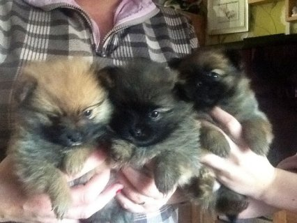 Grey Male and Black Female Tiny Teacup Pomeranian Puppies For Sa