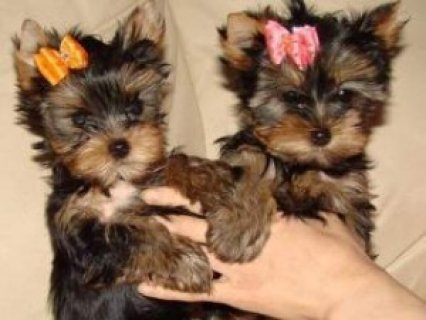 Charming AKC T-Cup Yorkie puppies for adoption