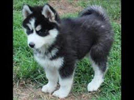 Siberian Husky Puppies ready to go,,,,,,,,,,,,,,,,,,,,,,,,,,