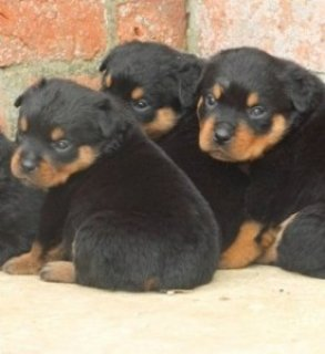Super Rottweiler Pups For Sale