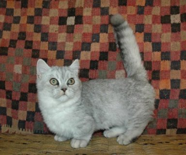 Munchkin Kittens Registered For Sale