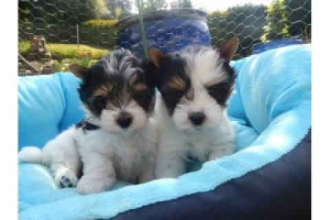 Beautiful Biewer Yorkie Puppies Available For Sale