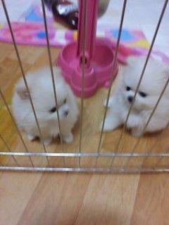 beautiful Pomeranian female puppies