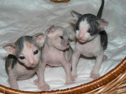 Male and a female Sphynx kittens for adoption