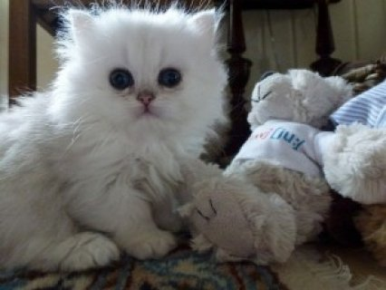 <<Adorable RAGDOLL KITTENS for adoption>>