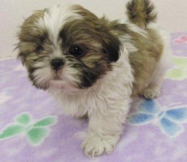 Very Playful Shih Tzu Puppies for Sale