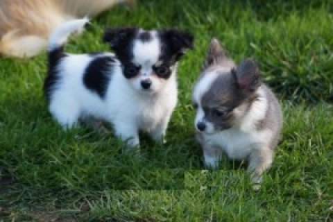 Gorgeous chihuahua puppies ready for Sale.
