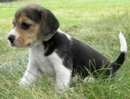 akc black-tan & white ticked male beagle For Sale