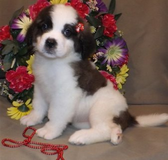 Saint Bernard puppies available.