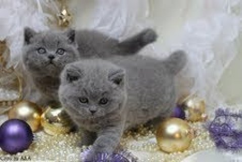 British Shorthair kittens for