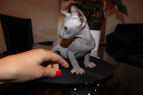 Two Excellent Sphynx Kittens For Sale
