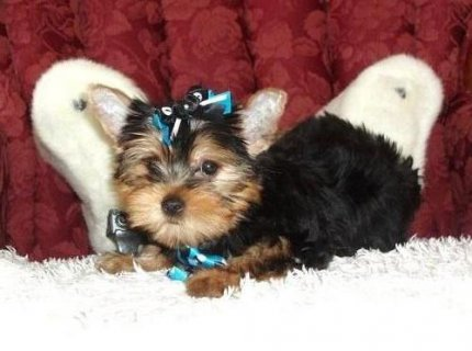 Yorkie Puppies Available for sale