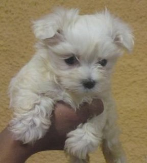 2 Adorable Maltese puppies available for adoption