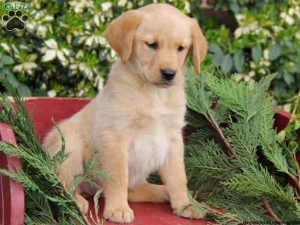 2 Male and Female Labrador puppies For Adoption