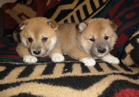 2 Shiba Inu Puppies now Available