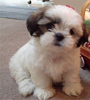French Bulldog Puppies seeking a new family.