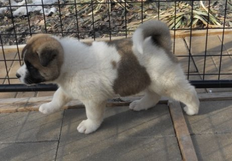 Awesome Akita Puppies for sale now