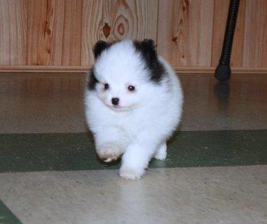 Free Pomeranian puppies.
