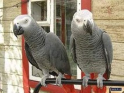 African Grey Parrots for sale,..,.,.,.,