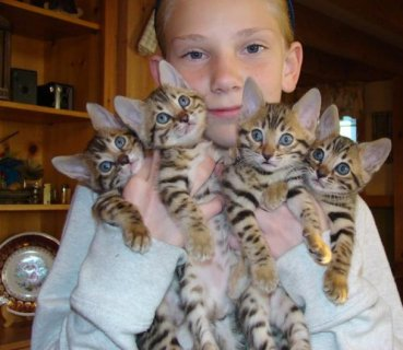 Cute males and Females Bengal Kittens for sale.