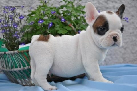 French Bulldog puppies for sale.,.