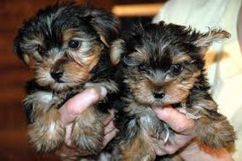 صور Excellent Teacup Yorkie Puppies for sale..... 1